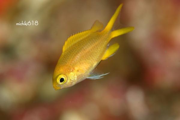 コガネスズメダイSPの幼魚_e0112813_17254678.jpg
