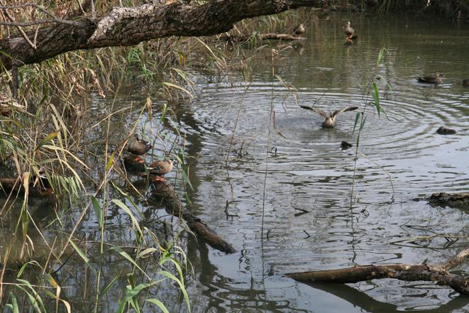 足利 迫間湿地2 カルガモ_e0127948_16372443.jpg