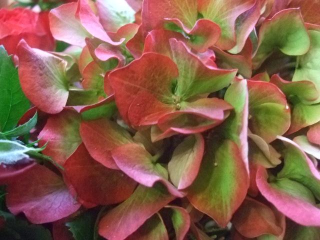 オークリーフ(レッドラナンキュラと赤い紫陽花のアレンジメント)_f0049672_1451423.jpg