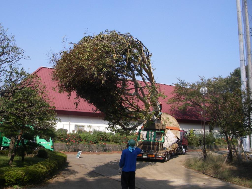 巨木の移植_b0172896_1935118.jpg
