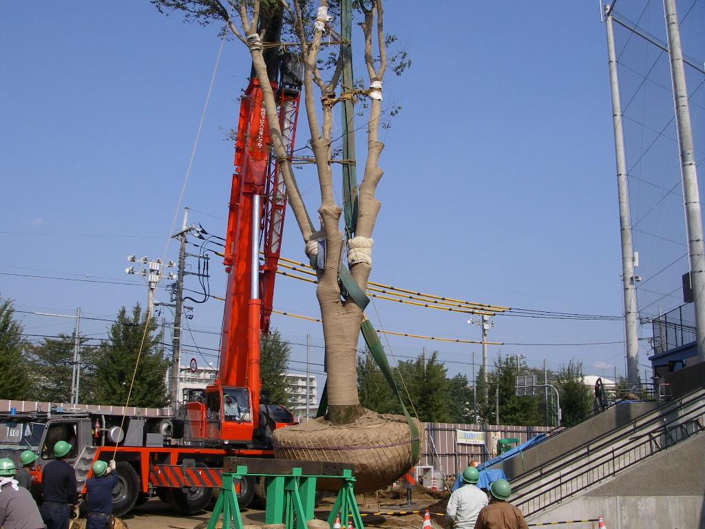巨木の移植_b0172896_193784.jpg