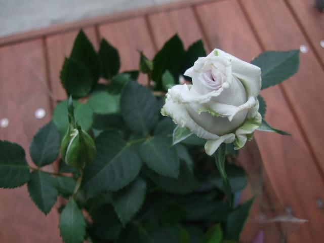 オークリーフ(バラ・モーニングブルー)_f0049672_1650218.jpg