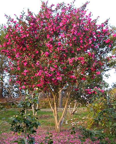 Camellia_e0170671_21472882.jpg