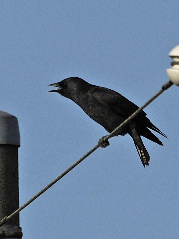 黒丸鴉の初見・初撮り_c0018118_21405787.jpg