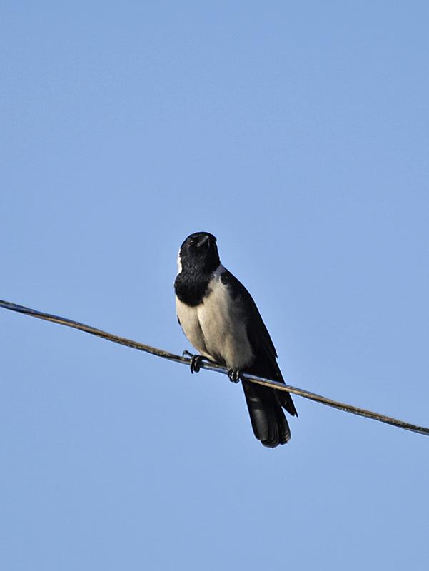 黒丸鴉の初見・初撮り_c0018118_21433539.jpg