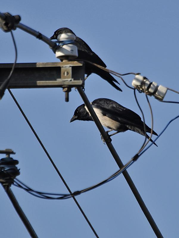 黒丸鴉の初見・初撮り_c0018118_21463719.jpg