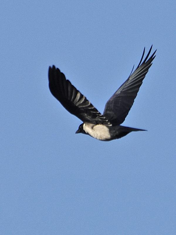 黒丸鴉の初見・初撮り_c0018118_2149468.jpg