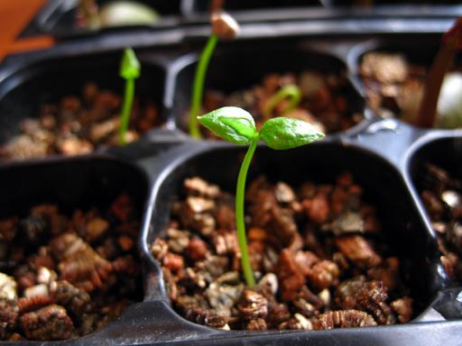 イエローストロベリーグァバの発芽