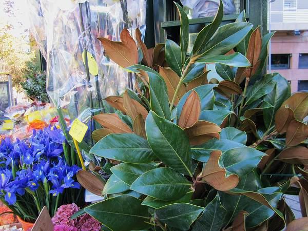 秋のアジサイ   Hortensia de otonyo_b0064411_4455612.jpg