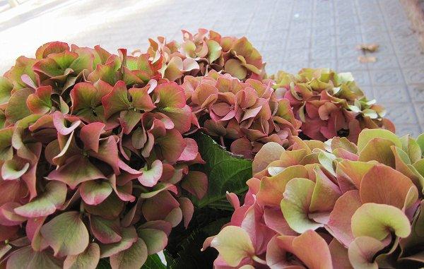 秋のアジサイ   Hortensia de otonyo_b0064411_450252.jpg