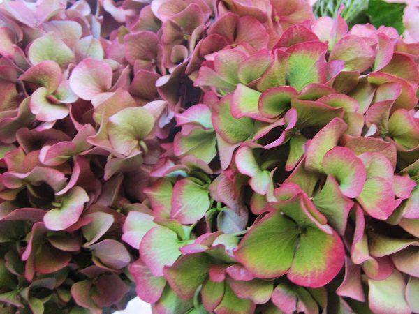 秋のアジサイ   Hortensia de otonyo_b0064411_4505414.jpg