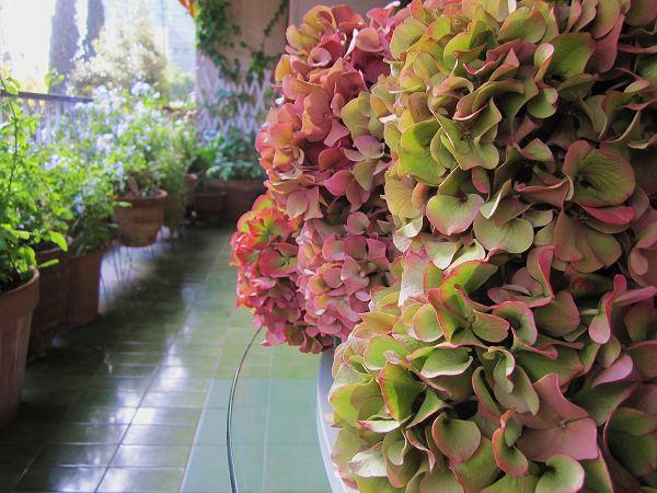 秋のアジサイ   Hortensia de otonyo_b0064411_451323.jpg