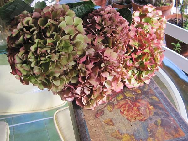 秋のアジサイ   Hortensia de otonyo_b0064411_4522296.jpg