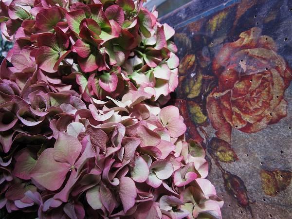 秋のアジサイ   Hortensia de otonyo_b0064411_4525031.jpg