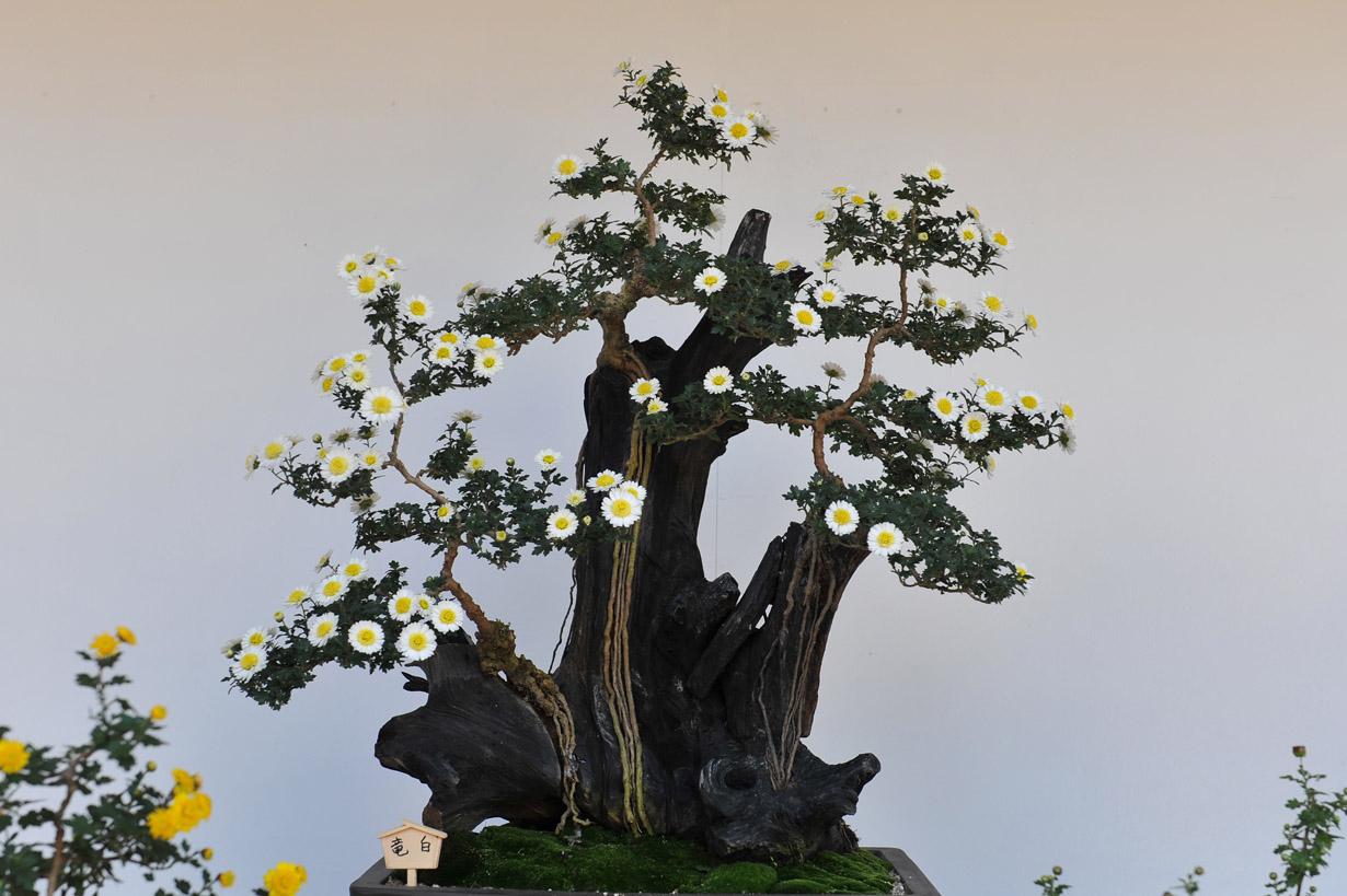 太宰府天満宮の菊盆栽 壁紙写真_f0172619_17372434.jpg