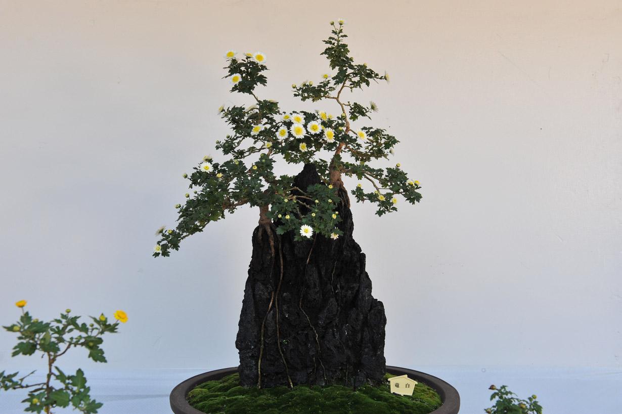 太宰府天満宮の菊盆栽 壁紙写真_f0172619_17393615.jpg