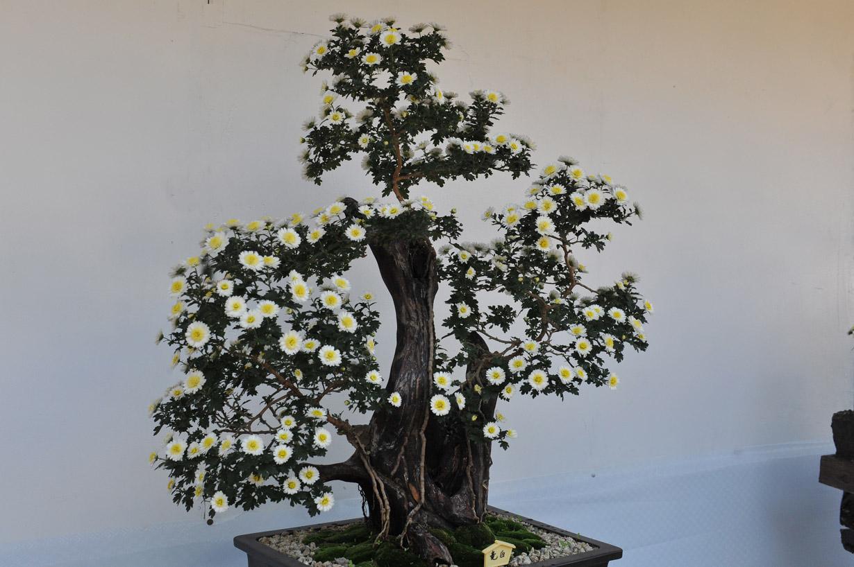 太宰府天満宮の菊盆栽 壁紙写真_f0172619_1739554.jpg