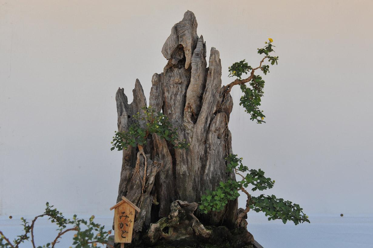 太宰府天満宮の菊盆栽 壁紙写真_f0172619_17405153.jpg