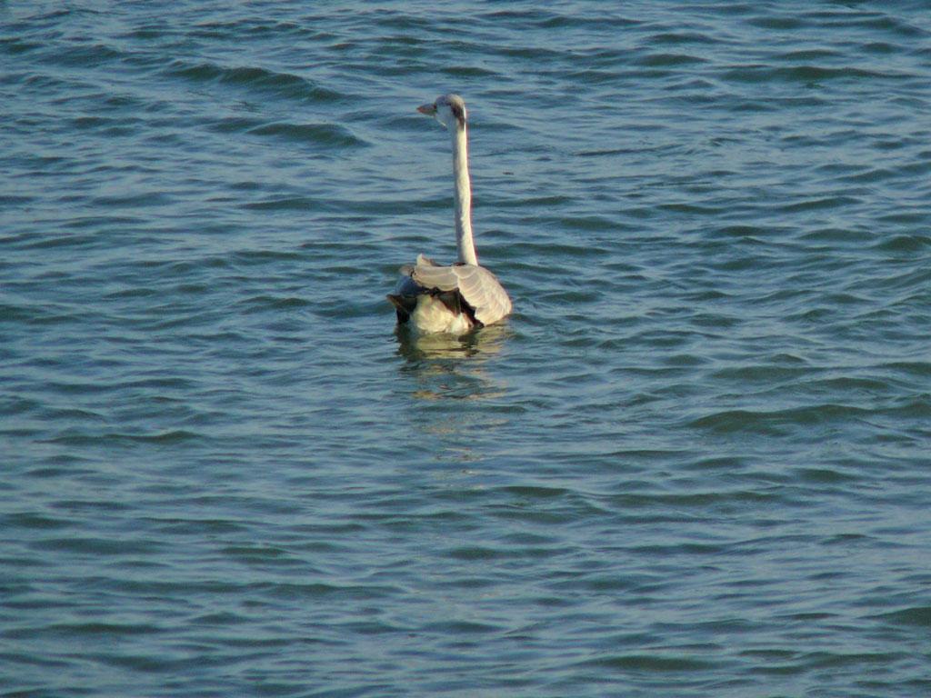 海面に浮かぶ アオサギ (タイトル変更、写真追加  09.11.17)_e0088233_2323788.jpg