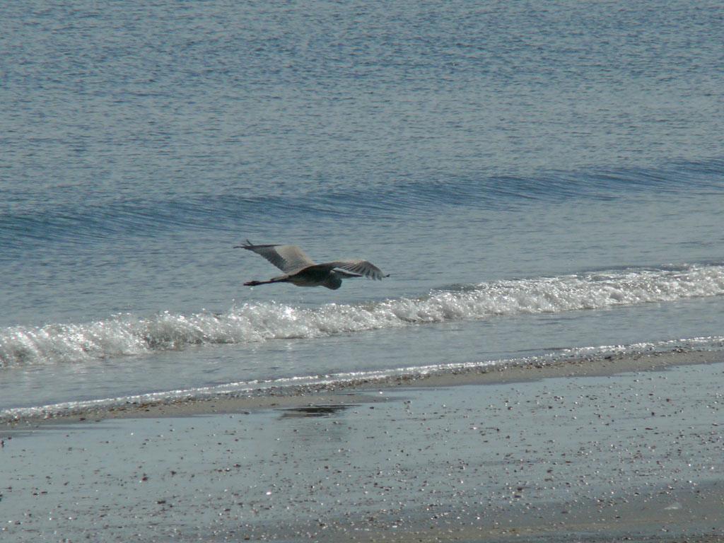 海面に浮かぶ アオサギ (タイトル変更、写真追加  09.11.17)_e0088233_23245833.jpg
