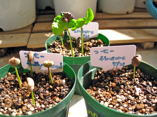 コーヒーの発芽、germination of coffee