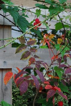 今年の紅葉…『茜色』_c0124100_1335727.jpg