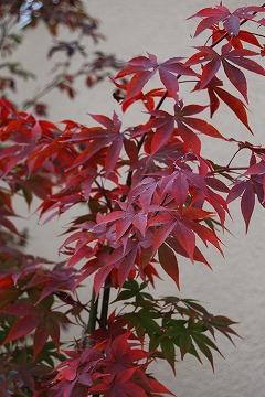 今年の紅葉…『茜色』_c0124100_13374972.jpg