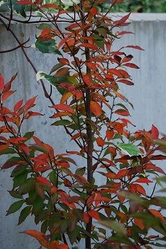 今年の紅葉…『茜色』_c0124100_1338467.jpg