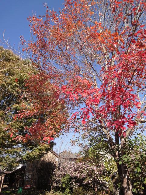 庭の紅葉 第一弾_b0124462_11175117.jpg