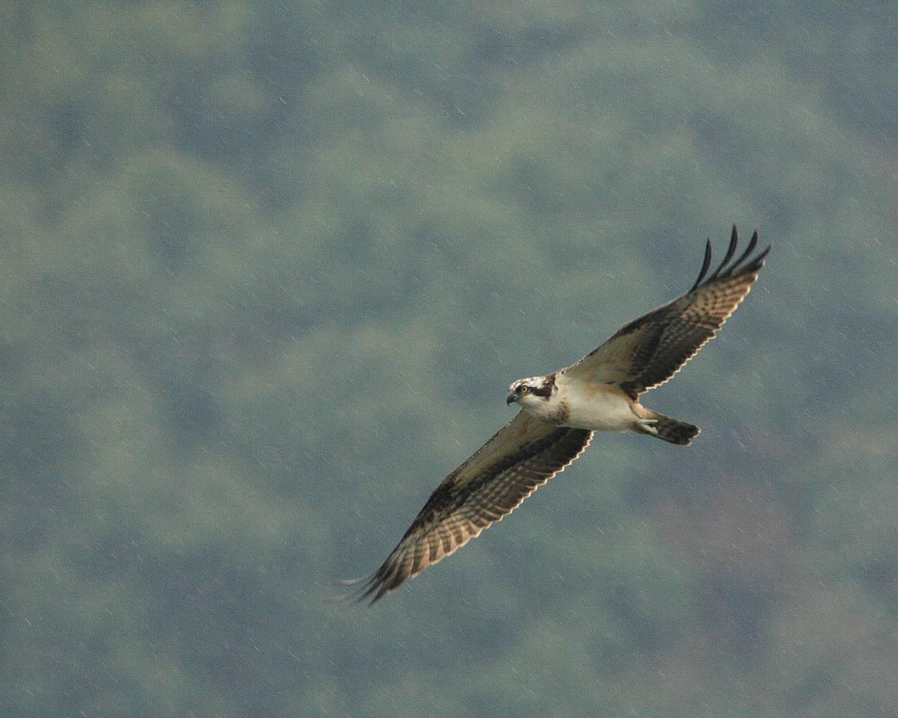 ミサゴの雨中飛翔_f0105570_22444214.jpg