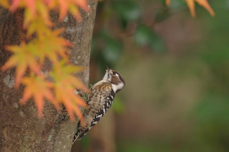 紅葉、黄葉に染まった鳥さん達_f0053272_22334653.jpg