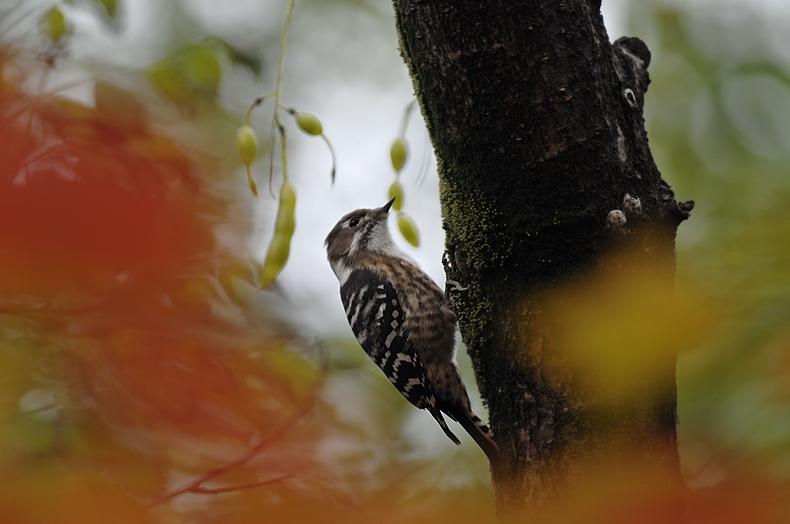 紅葉、黄葉に染まった鳥さん達_f0053272_22351238.jpg