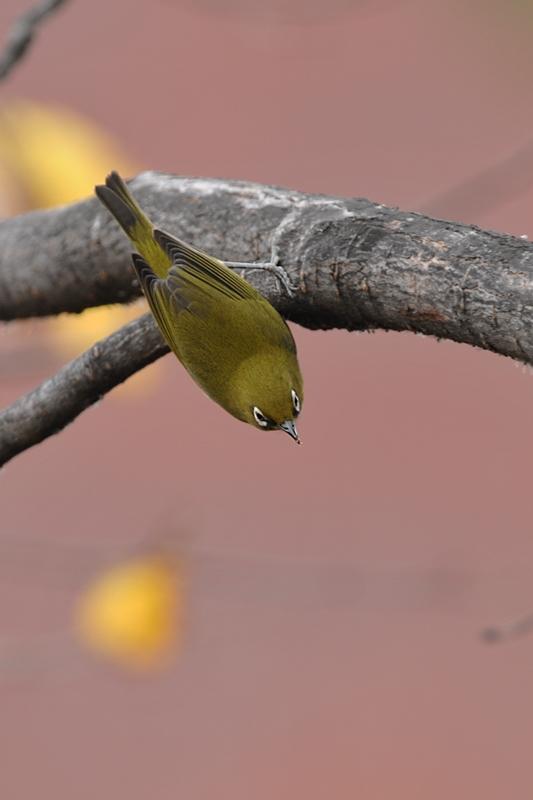 紅葉、黄葉に染まった鳥さん達_f0053272_22365542.jpg