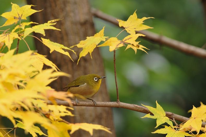 紅葉、黄葉に染まった鳥さん達_f0053272_22383240.jpg