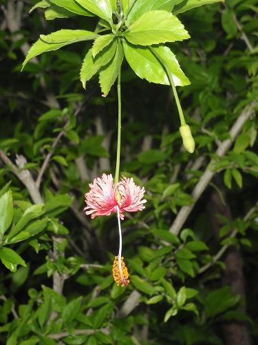西表島の自然・歴史・文化⑤_c0180460_3273961.jpg