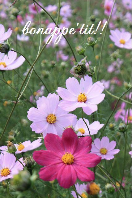 秋桜畑を楽しむ。_c0127029_16523959.jpg