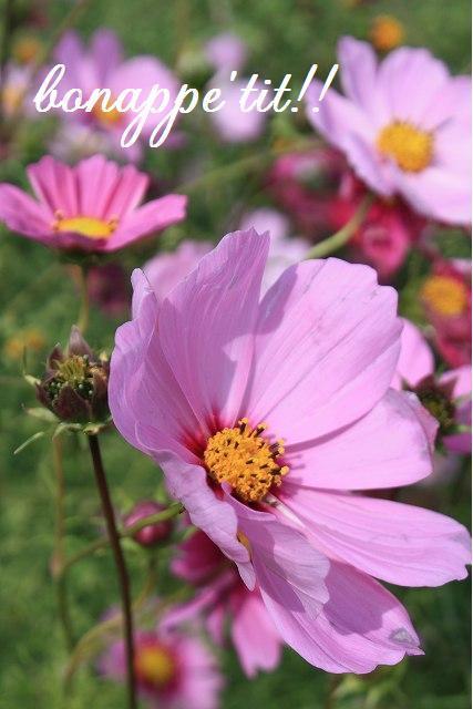 秋桜畑を楽しむ。_c0127029_16561545.jpg