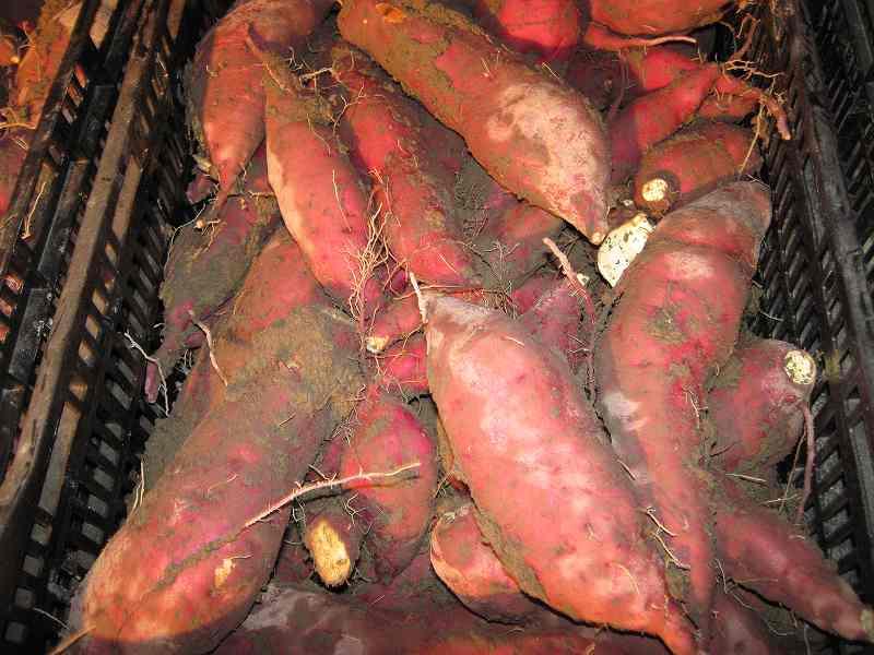 サツマイモ収穫_c0109133_21343331.jpg