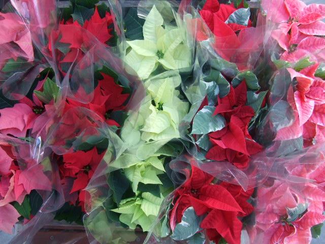 オークリーフ(クリスマスらしく)_f0049672_1227582.jpg