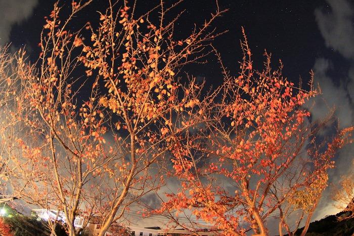-夜桜- 秋に色づく葉桜は、春よりも燃え盛り☆_a0122544_20175738.jpg