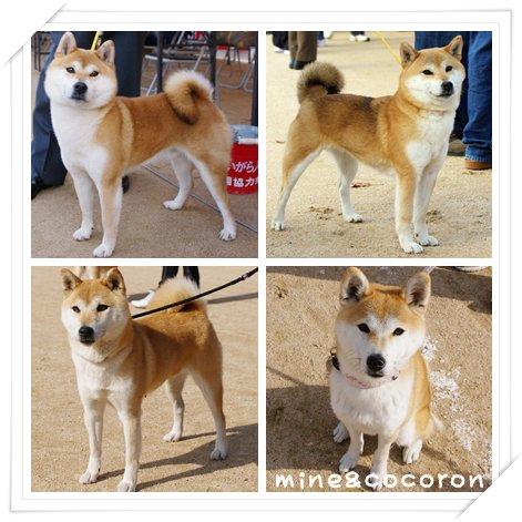日本犬保存会全国展(京都)_a0053987_2221166.jpg