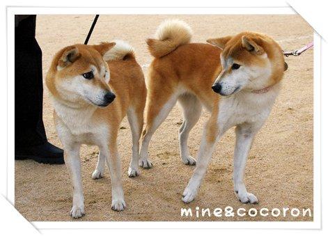 日本犬保存会全国展(京都)_a0053987_22234867.jpg