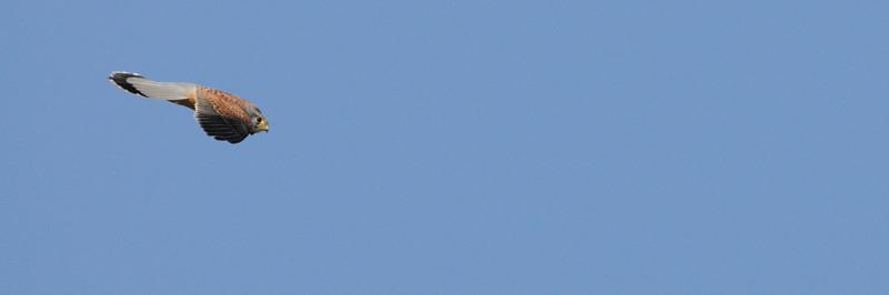 青空のご近所チョウゲンボウ_d0099854_21431073.jpg