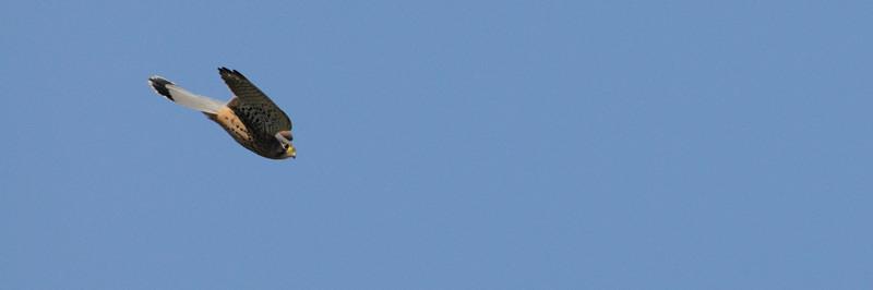 青空のご近所チョウゲンボウ_d0099854_21432032.jpg