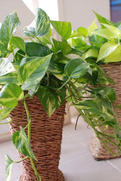 観葉植物_b0151059_7592883.jpg