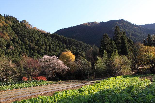 城峰公園・冬桜_d0026817_12574320.jpg