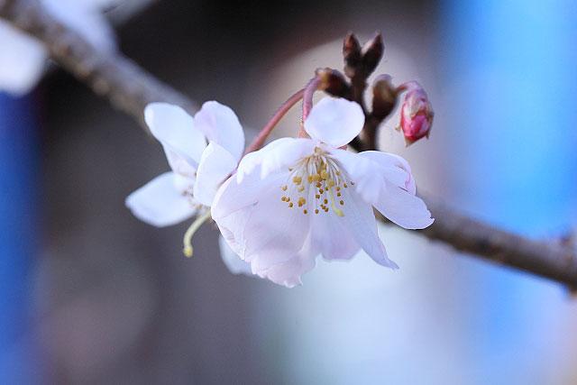 城峰公園・冬桜_d0026817_131263.jpg