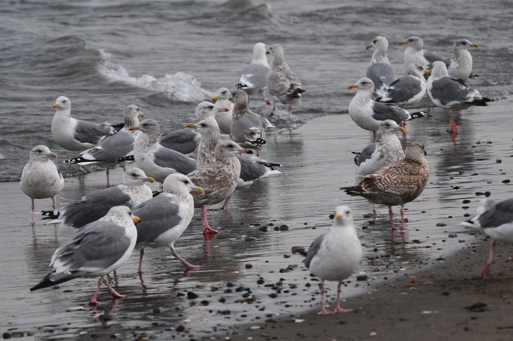 今日の浜辺は 大型カモメばかり_d0039021_18383186.jpg
