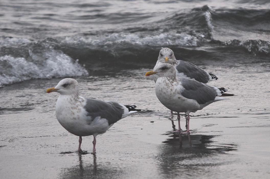 今日の浜辺は 大型カモメばかり_d0039021_18403772.jpg