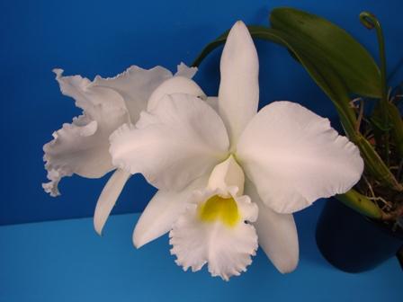 C.Cornelia f.alba (コーネリア・アルバ)_d0007501_2035286.jpg